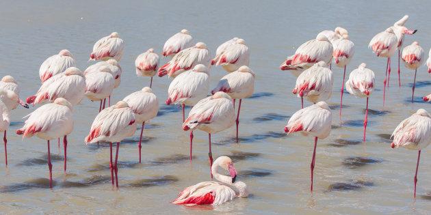 Greater Flamingo, pink birds